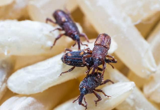 Pantry Pest